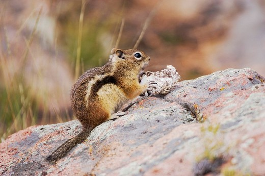 Stock Photo: 1848-201921 Golden_mantled Ground Squirrel Spermophilus lateralis, adult eating wild mushroom, Rocky Mountain National Park, Colorado, USA