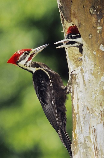 Pileated Woodpecker Dryocopus pileatus, male feeding young in cavity in forest, Neuse River, Raleigh, Wake County, North Carolina, USA : Stock Photo