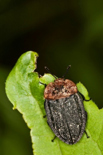 Carrion beetle Oeceoptoma thoracicum : Stock Photo