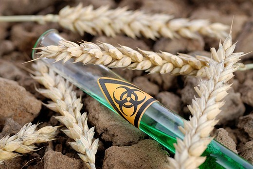 Test tube with biohazard sign and ears of wheat, genetically manipulated wheat : Stock Photo