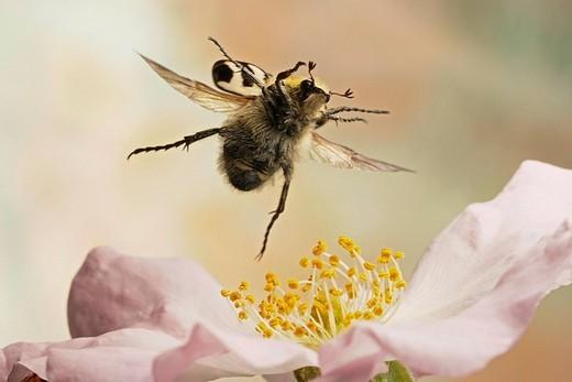 Bee beetle Trichius fasciatus, Saxony_Anhalt, Germany : Stock Photo