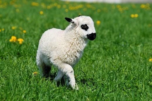 Lamb : Stock Photo