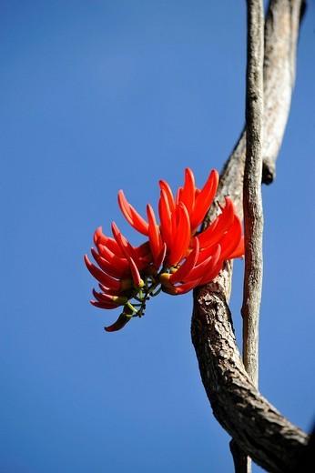 Waratah Telopea, blossom, tropical rainforest, Daintree National Park, Queensland, Australia : Stock Photo