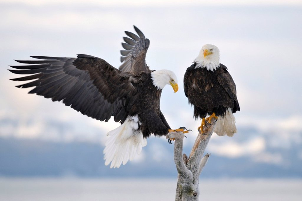 Stock Photo: 1848-20452 Bald Eagle Haliaeetus leucocephalus landing, Kenai Peninsula, Alaska, USA