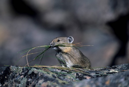 American Pika Ochotona princeps, Mouse Hare, Coney, Pika taking grass to trying for the winter season. : Stock Photo