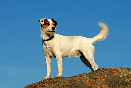Stock Photo: 1848-206262 Parson Jack Russell Terrier, standing