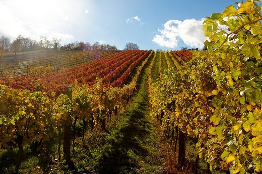 Stock Photo: 1848-206633 Autumn foliage, vineyard, Klosterneuburg, Austria