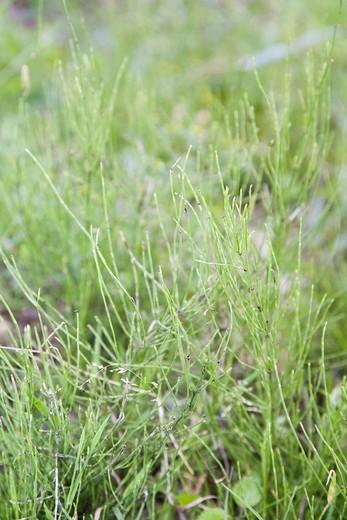 Field Horsetail Equisetum arvense : Stock Photo