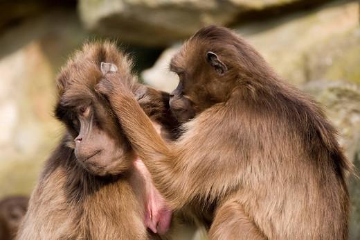 Geladas or Gelada Baboons Theropithecus gelada grooming one another at Rheine Zoo, North_Rhine Westphalia, Germany, Europe : Stock Photo