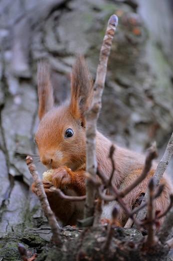 Red Squirrel Sciurus vulgaris feeding on a hazelnut : Stock Photo