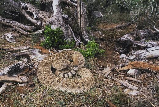 Stock Photo: 1848-208009 Western Diamondback Rattlesnake Crotalus atrox, adult in defense pose in habitat, Starr County, Rio Grande Valley, Texas, USA