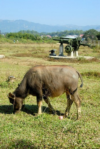 First Indochina War 1954, water buffalo grazing in front of old French artillery cannon in the field, Dien Bien Phu, Vietnam, Southeast Asia, Asia : Stock Photo