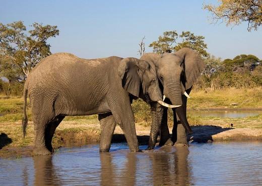 African elephants Loxodonta africana at waterhole, Chobe National Park, Botswana, Africa : Stock Photo