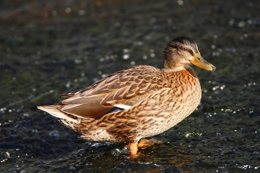 Mallard Anas platyrhynchos : Stock Photo