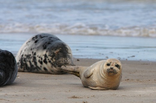 Grey Seals Halichoerus grypus at the beach : Stock Photo