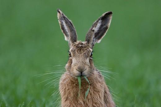 Stock Photo: 1848-209078 European Hare Lepus europaeus