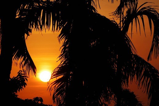 Silhouette of a palm at sunset, Darwin, Northern Territory, Australia : Stock Photo