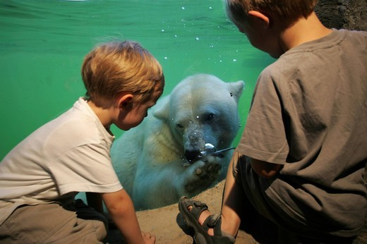 Stock Photo: 1848-209274 Window for underwater viewing, Polar Bear Ursus maritimus in the Alaskan Habitat at ZOOM Erlebniswelt, modern zoo without cages in Gelsenkirchen, North Rhine_Westphalia, Germany, Europe