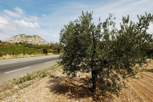 Country road lined with vineyards and olive trees, Provence, France, Europe : Stock Photo