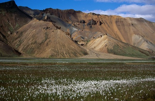 Cottongrass meadow in front of a colourful mountain landscape of Rhyolite, Landmannalaugar, Fjallabak, Southern Highlands, Iceland, Europe : Stock Photo