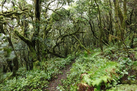 Paths leading throgh moss_covered trees in a cloud forest, Garajonay National Park, La Gomera, Canary Islands, Spain, Europe : Stock Photo
