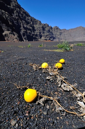 Pumpkin culitivation, Pico de Fogo caltera, Fogo Island, Cape Verde Islands, Africa : Stock Photo