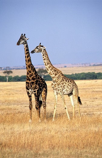 Giraffe, Giraffa camelopardalis : Stock Photo