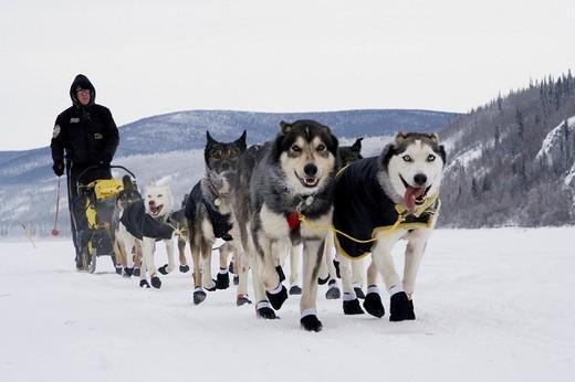 Stock Photo: 1848-211462 Yukon Quest Sled Dog Race musher Brent Sass, leaving Dawson City, with his dog team on the frozen Yukon River, Yukon Territory, Canada
