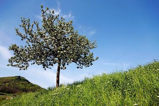 Blossoming fruit tree, Southern Palatinate, Rhineland_Palatinate, Germany, Europe : Stock Photo
