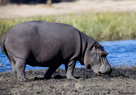 Hippopotamus Hippopotamus amphibius in the Chobe River, Chobe National Park, Botswana, Africa : Stock Photo