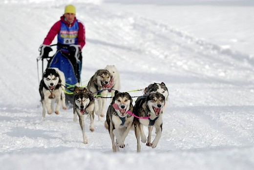 Dog sled race, Unterjoch, Bavaria, Germany, Europe : Stock Photo