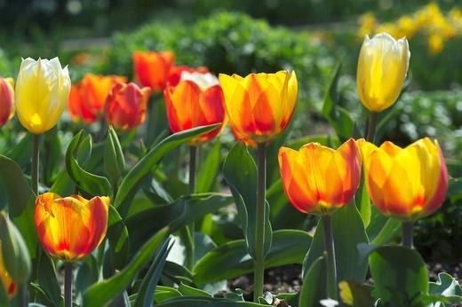 Tulip tulipa : Stock Photo