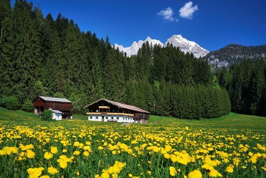 Farm between Going and St. Johann, dandelion meadow in spring, Wilder Kaiser mountain, Tyrol, Austria, Europe : Stock Photo