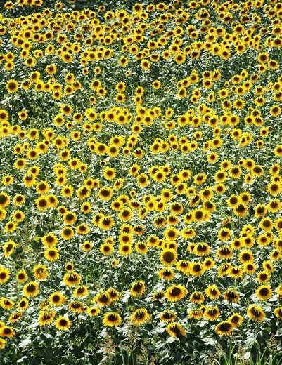 Stock Photo: 1848-215069 DEU, Germany : Field of sunflowers