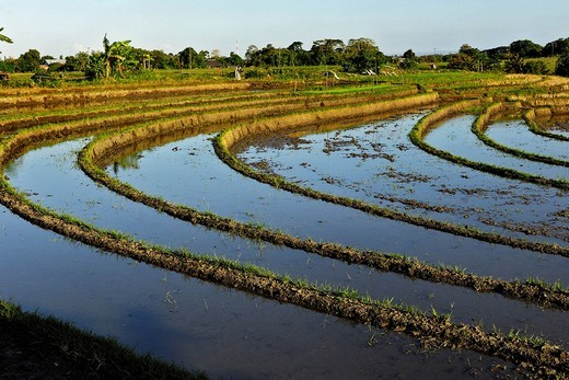 Rice paddies near Ubud, Bali, Indonesia : Stock Photo