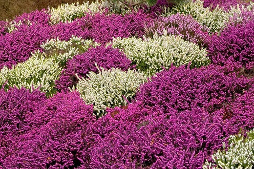 Stock Photo: 1848-215643 Withe and purple erica