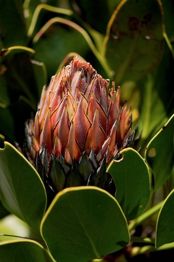 Stock Photo: 1848-217164 Sugarbush Protea blossom, Harold Porter National Botanical Garden, Betty´s Bay, South Africa, Africa