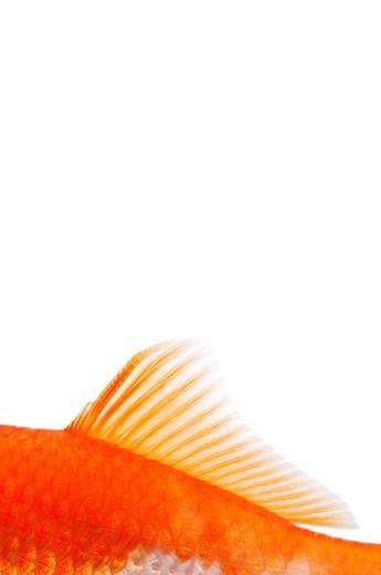 Goldfish fin Carassius auratus : Stock Photo