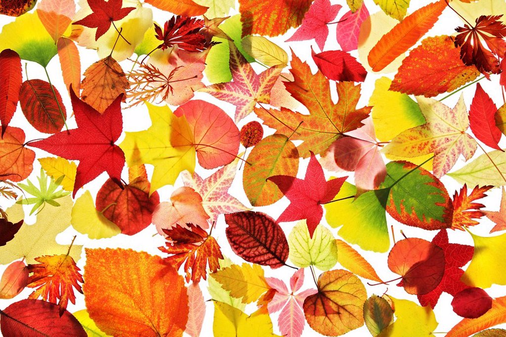 Stock Photo: 1848-217340 Assorted collection of autumn coloured leaves, still life