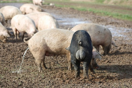 Free_range pigs, Petershagen, North Rhine_Westphalia, Germany : Stock Photo
