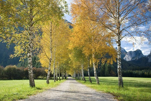 Alley of birch trees in autumn, Tragoess, Steiermark, Austria, Europe : Stock Photo