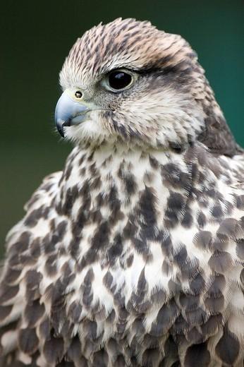 Stock Photo: 1848-221143 Saker Falcon Falco cherrug portrait, Daun Zoo, Vulkaneifel, Germany, Europe