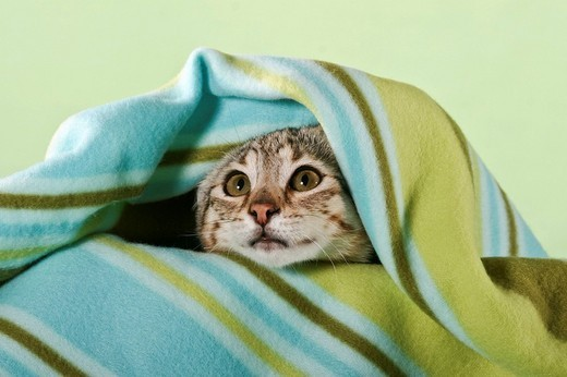 Young Savannah cat snuggled in blanket : Stock Photo
