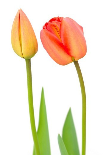 Tulip flower Tulipa and Tulip bud : Stock Photo