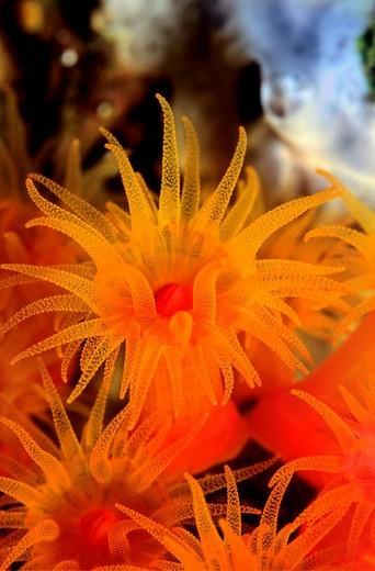 Orange Cup Coral Tubastrea coccinea, Philippines, Southeast Asia : Stock Photo