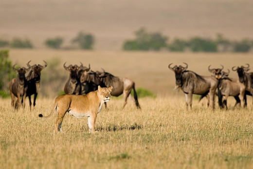 Herd of Blue Wildebeests Connochaetes taurinus and a Lioness Panthera leo, Masai Mara National Reserve, Kenya, East Africa : Stock Photo