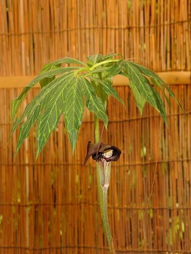 Stock Photo: 1848-225569 Shikoku Island Cobra Lily Arisaema, Kyoto, Japan, Asia