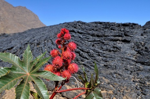 Stock Photo: 1848-225929 Castor Oil plant Ricinus communis in front of P&257,hoehoe lava, Cha das Caldeiras, Pico de Fogo Volcano, Fogo Island, Cape Verde Islands, Africa