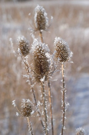 Thistle with hoarfrost : Stock Photo