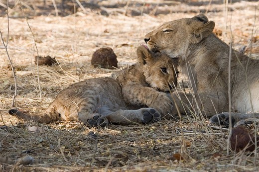 Stock Photo: 1848-227242 Female Lion and cub Panthera leo, Moremi Wildlife Reserve, Botswana, Africa
